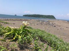 知林ヶ島を臨む。ハマユウが一輪