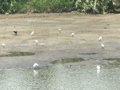 垂水の川縁に遊ぶアオサギ、小サギ、鴨たち