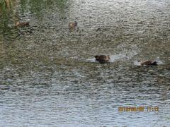 水の中だが、親子4羽水入らず