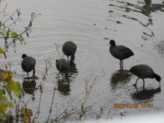 オオバン御領ヶ池に飽いたので隣の用水路へ