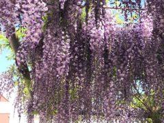 老木ながら春爛漫in園庭