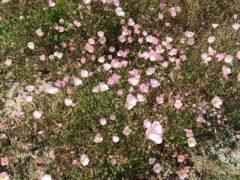 昼咲き月見草マツヨイグサの仲間北米南部原産観賞用後野生化