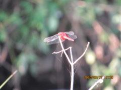 ナツアカネ。赤トンボは夏にもいた。