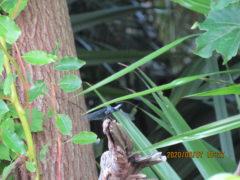 シオヤトンボ。仲間は東南アジアに広く住んでいるがこれは日本固有種だという。
