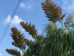 酷暑の中逞しく開花したトックリラン