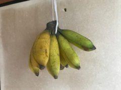 指宿生まれの奄美シマバナナ