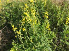 ムラサキセンダイハギ:造成地で見かけた花だが、黄色なのにムラサキ?