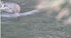 カルガモの♀わき目も降らずに川底をまさぐっていた。