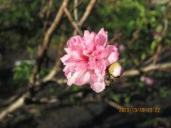 八重咲きの桃?
