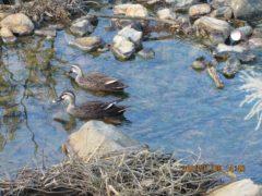 カルガモも入浴。二反田川にも温泉が流れ込む。