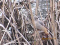 藪に消えた小鳥の正体はジョウビタキ