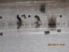 2羽のウの向こう側の2羽がキンクロハジロ。黒に白が特徴。