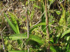 荒地にはコサンダケが茂りタケノコが伸びていた