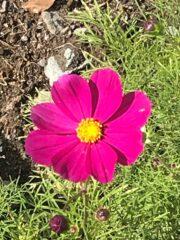近くの庭先に咲いていた。これも盗撮?