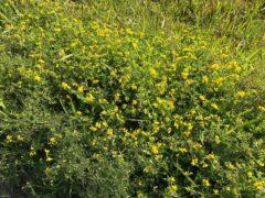 近くの土手に咲くセイヨウミヤコグサ