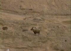 上の池の右側の崖に住むアイベクス