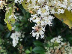 ネズミモチの花も甘い?