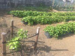 手前は甘くて大きな実をつけるイチジク。向こうは5月に子どもたちが植えた芋畑。芋は今年、イチジクは来年?